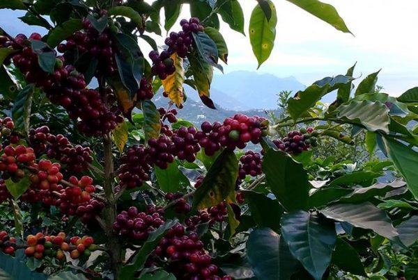 Coffee Cherries Ggowing