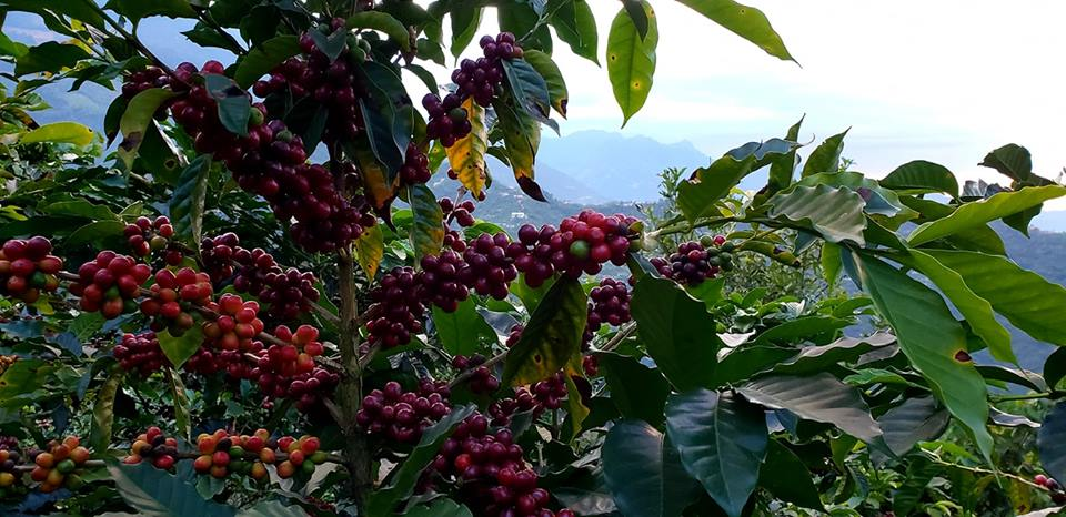 Coffee Cherries Ggowing